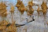 An Alligator, half submerged