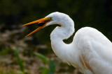 Great Egret trying to crack open a turtle