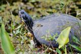 Turtle along the Shark River
