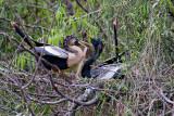 Anhingas in breeding plumage