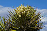 Yucca in flower