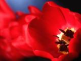 Tulip 5.jpg