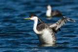 Western Grebe in front of loon