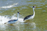 Western Grebes at end of dance