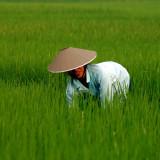 Rice-hat.jpg