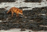 Fox On The Foreshore