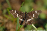 Map ButterflyAraschnia levana