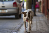 Dog on the streets of Chiapa de Corzo