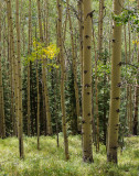 Aspens in late afternoon, Colorado