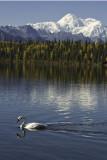 Denali Swans