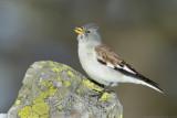 White-winged Snowfinch - Schneesperling - Montifringilla nivalis