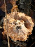 Fungal Sunburst