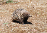 Echidna or Spiny Anteater, it can smell us but not see us
