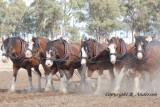 Moora Working Draft Horse Muster - the only registered Clydesdale 6 horse team in Victoria.