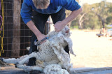Blade shearing, he knew what he was doing, good they now have electric shears