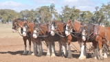Rick's team of six Clydesdales.