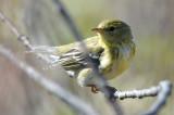 blackpoll warbler plum island