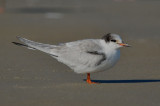 1st yr common tern sandy point plum island