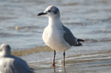 _laughing gull plum island