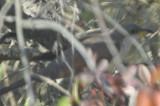 yellow-billed cuckoo plum island