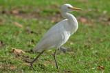 cattle egret spencer pierce farm