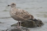 2nd yr herring gull plum island