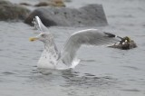 adult herring gull plum island