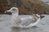3rd yr herring gull plum island