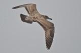 juv/1st yr herring gull plum island