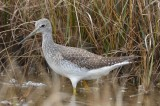 greater yellow legs plum island