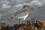 purple sandpiper brace cove gloucester
