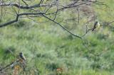 2 western kingbirds eastham forthill