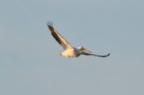 white pelican wellfleet