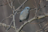 mountain bluebird good harbor gloucester