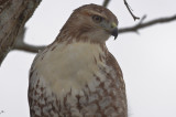 red-tailed hawk plum island