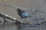rusty blackbird, or  could it be brewers? bedford ma great meadows