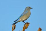 mountain blue bird good harbor gloucester