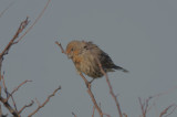 orange house finch good harbor gloucester