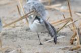 peep full winter plumage western? semi?