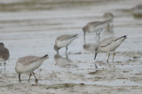 red knots sandy point plum island