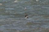cory's shearwater? first encounter beach