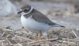 Semipalmated plover....Sandy Point Plum Island