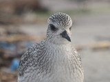 Black-bellied Plover Plum Island