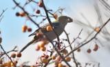 Pine Grosbeak plum Island