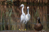 possible little egret plum island