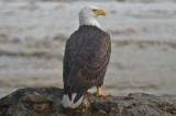 Bald EagleFort Meyers Beach Florida