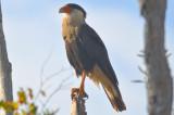 Crested Caracara roadside Florida