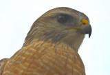Red-shouldered Hawk Cork Screw Swamp Florida
