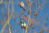 redpolls wilmington, but are they both common?