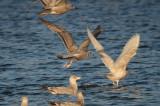 Kumlien's Gull Silver Lake Wilmington